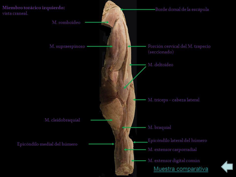 Muestra comparativa Miembro torácico izquierdo; vista craneal.