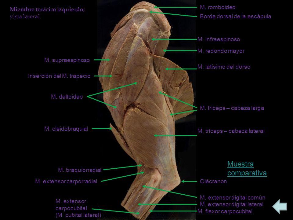 Muestra comparativa M. romboideo Miembro torácico izquierdo;