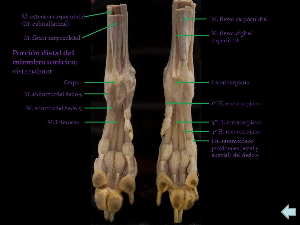 Porción distal del miembro torácico; vista palmar