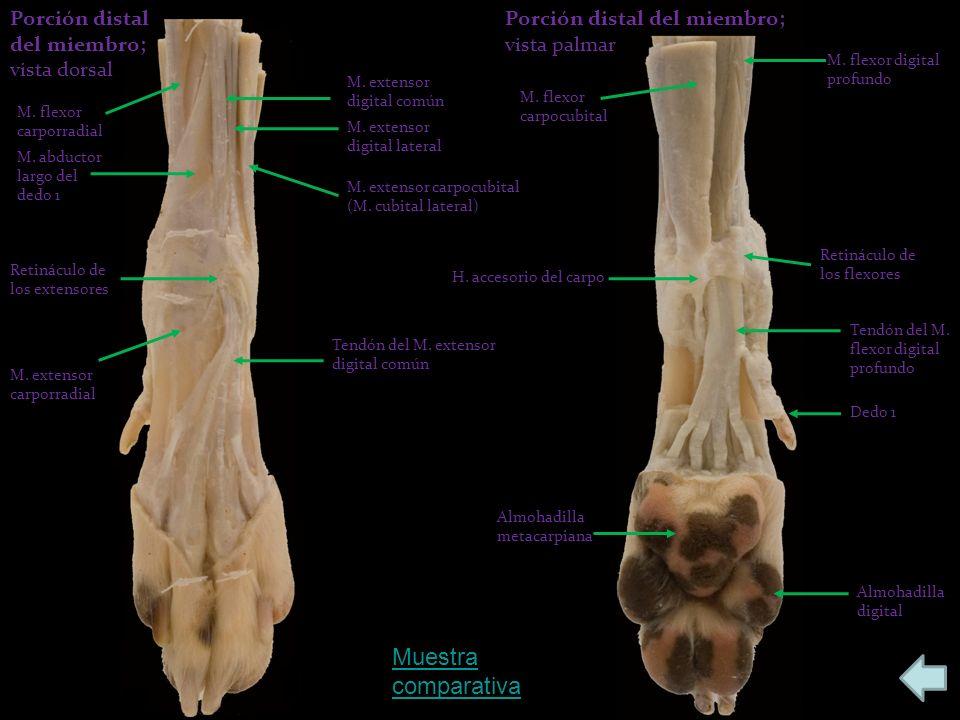 Muestra comparativa Porción distal del miembro; vista dorsal