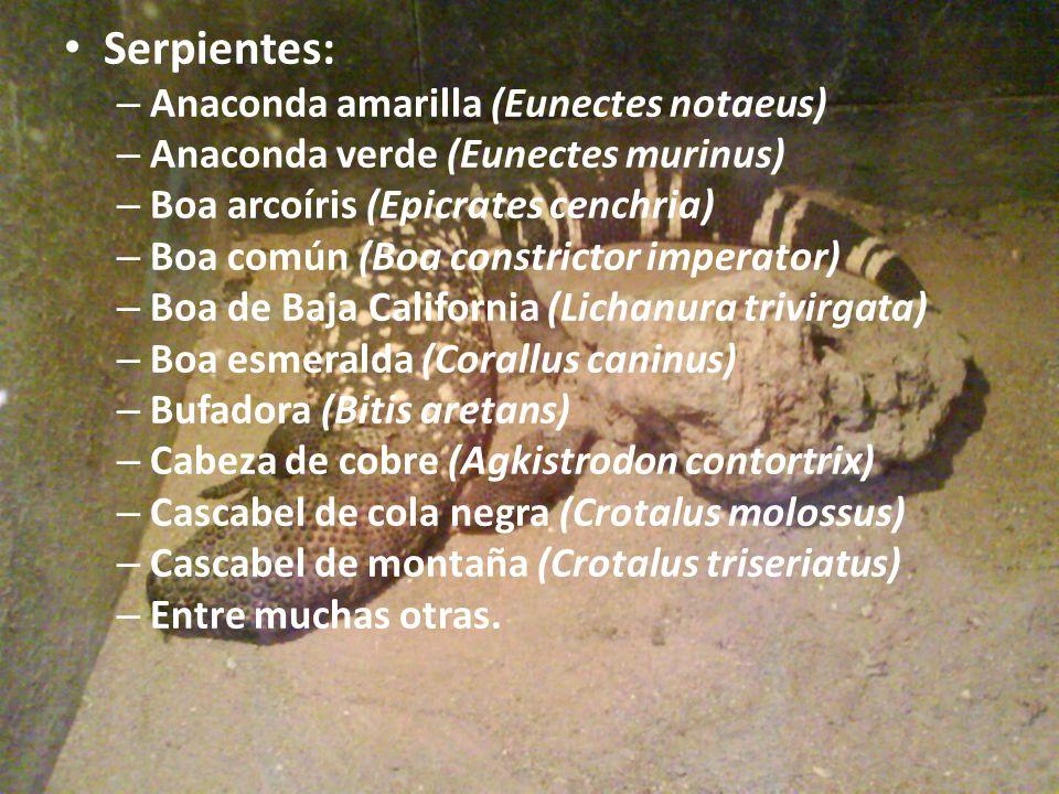 Serpientes: Anaconda amarilla (Eunectes notaeus)