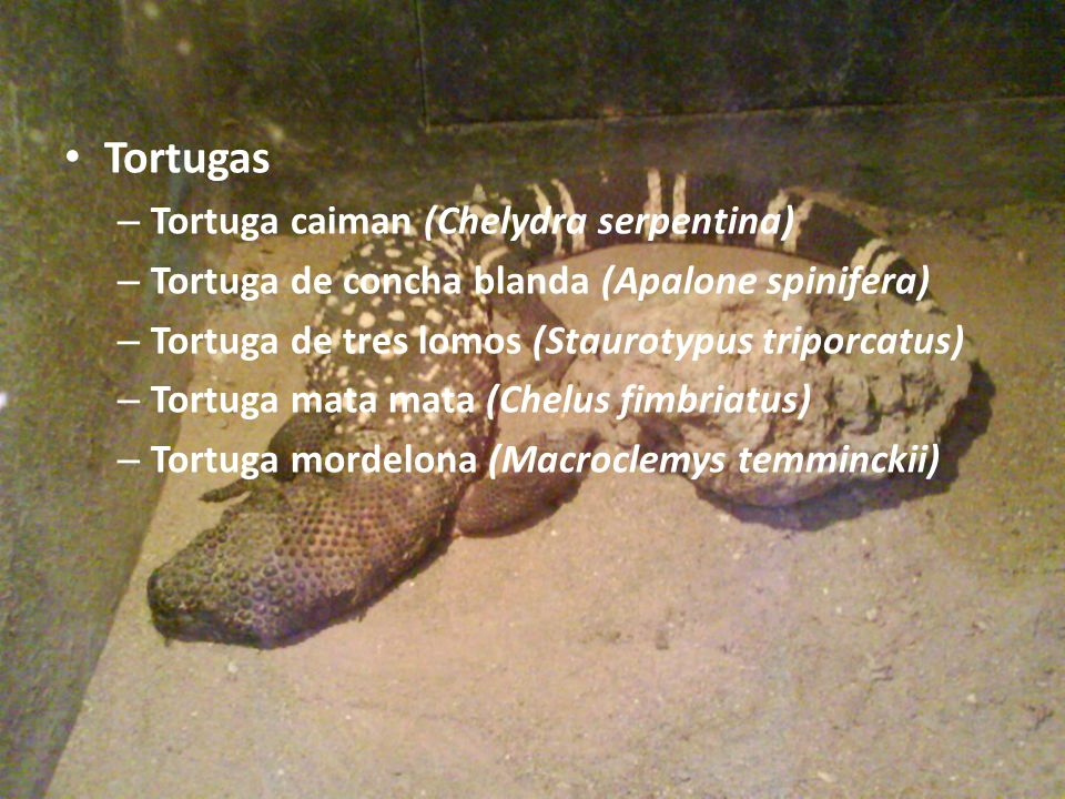 Tortugas Tortuga caiman (Chelydra serpentina)