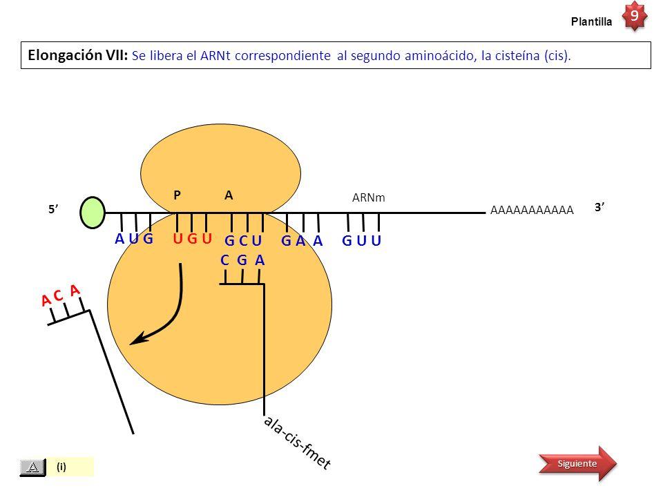 9 Plantilla. Elongación VII: Se libera el ARNt correspondiente al segundo aminoácido, la cisteína (cis).