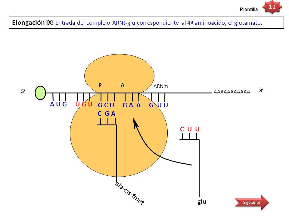 11 Plantilla. Elongación IX: Entrada del complejo ARNt-glu correspondiente al 4º aminoácido, el glutamato.