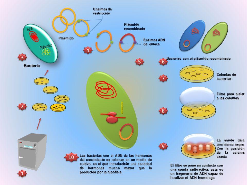 4 3 5 6 7 2 8 9 10 1 ADN Plásmido Bacteria Enzimas de restricción