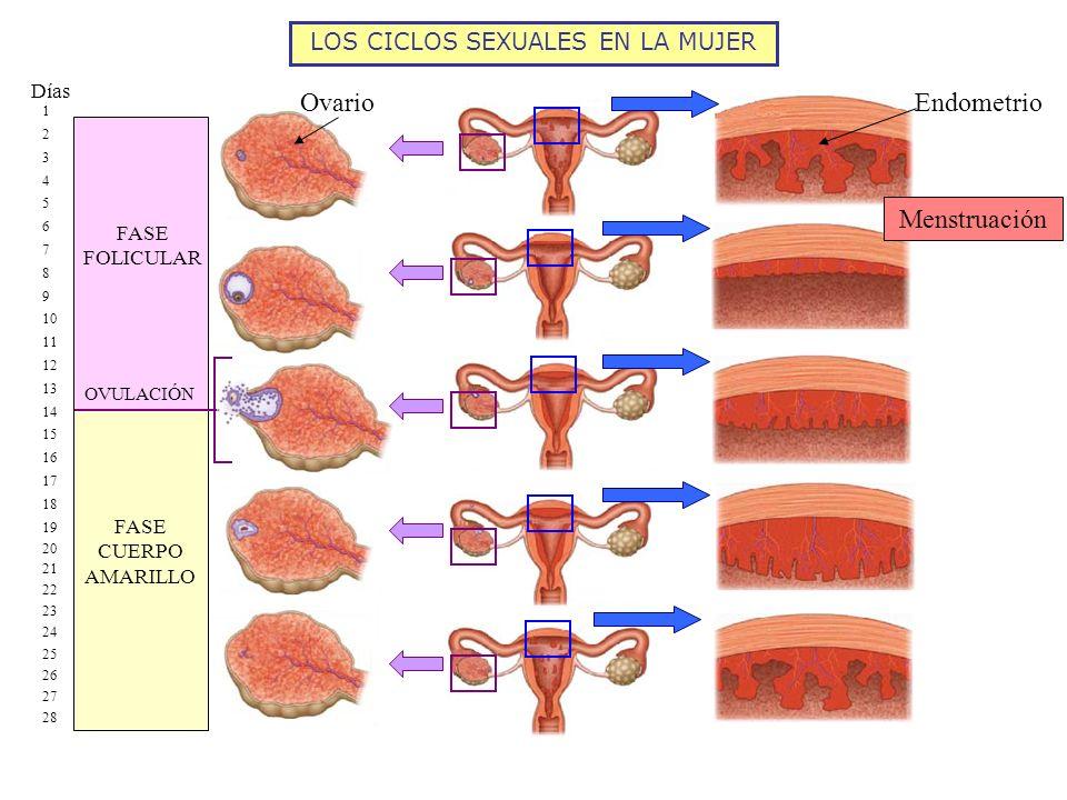 LOS CICLOS SEXUALES EN LA MUJER