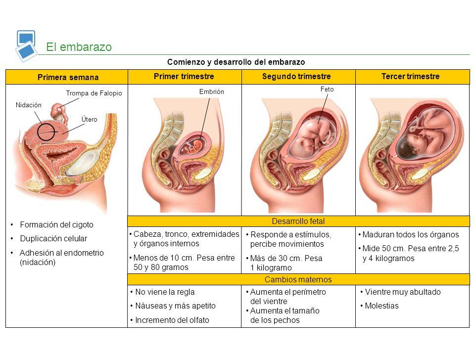 Comienzo y desarrollo del embarazo