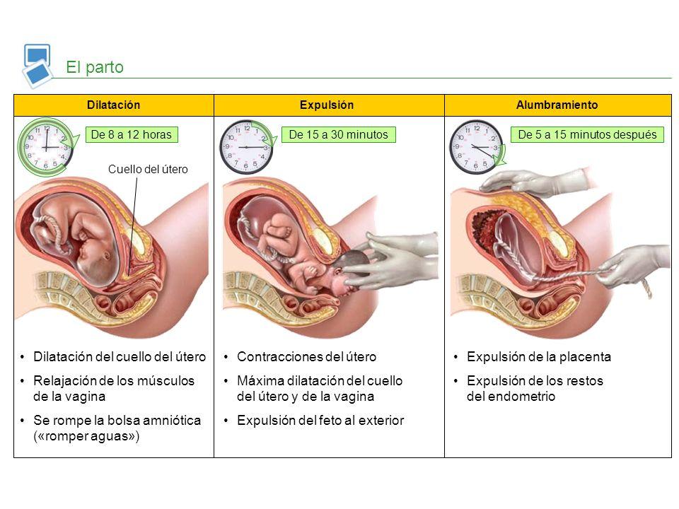 El parto Dilatación del cuello del útero