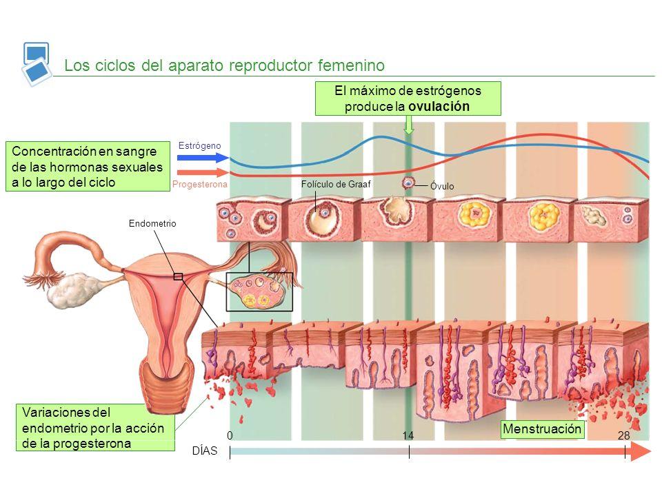 El máximo de estrógenos produce la ovulación