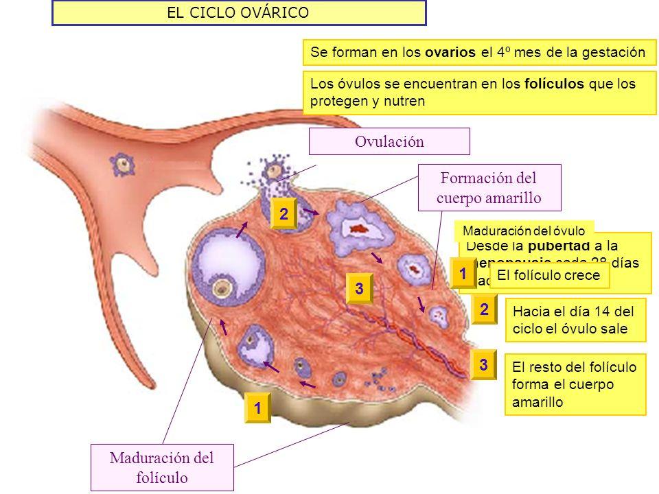 Formación del cuerpo amarillo