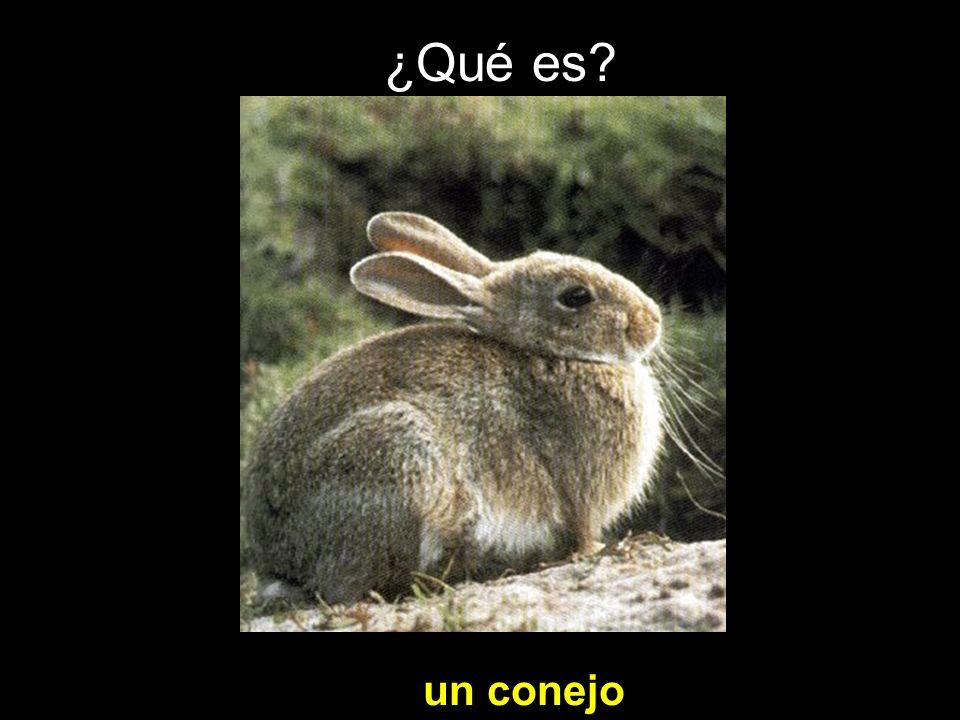 ¿Qué es un conejo