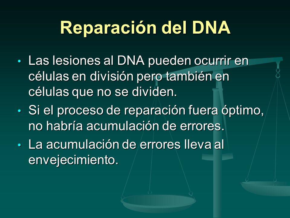 Reparación del DNA Las lesiones al DNA pueden ocurrir en células en división pero también en células que no se dividen.