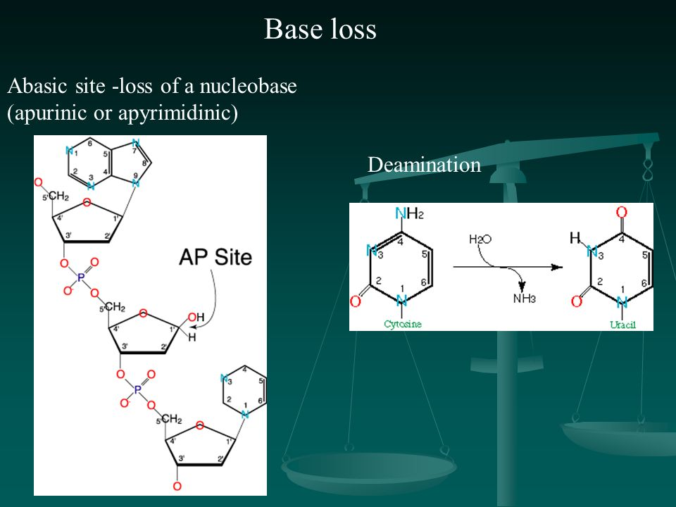 Base loss Abasic site -loss of a nucleobase (apurinic or apyrimidinic)