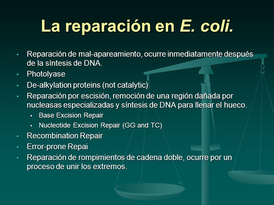 La reparación en E. coli. Reparación de mal-apareamiento, ocurre inmediatamente después de la síntesis de DNA.