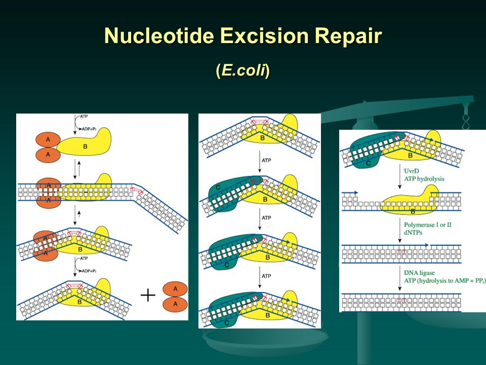 Nucleotide Excision Repair (E.coli)