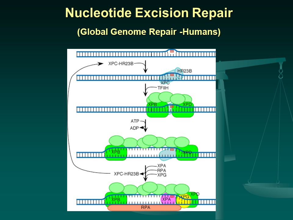 Nucleotide Excision Repair (Global Genome Repair -Humans)