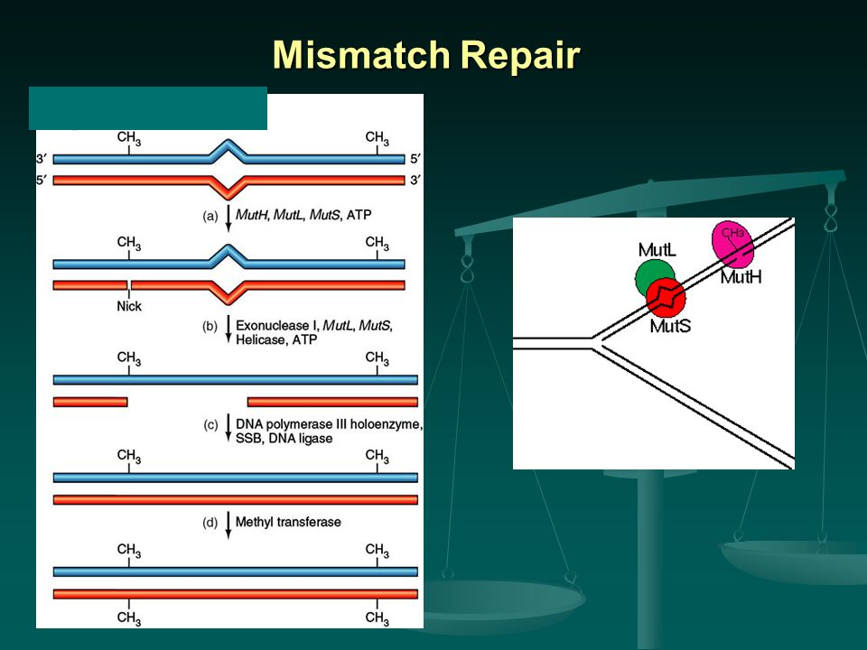 Mismatch Repair