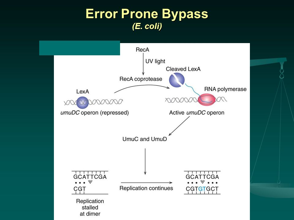 Error Prone Bypass (E. coli)