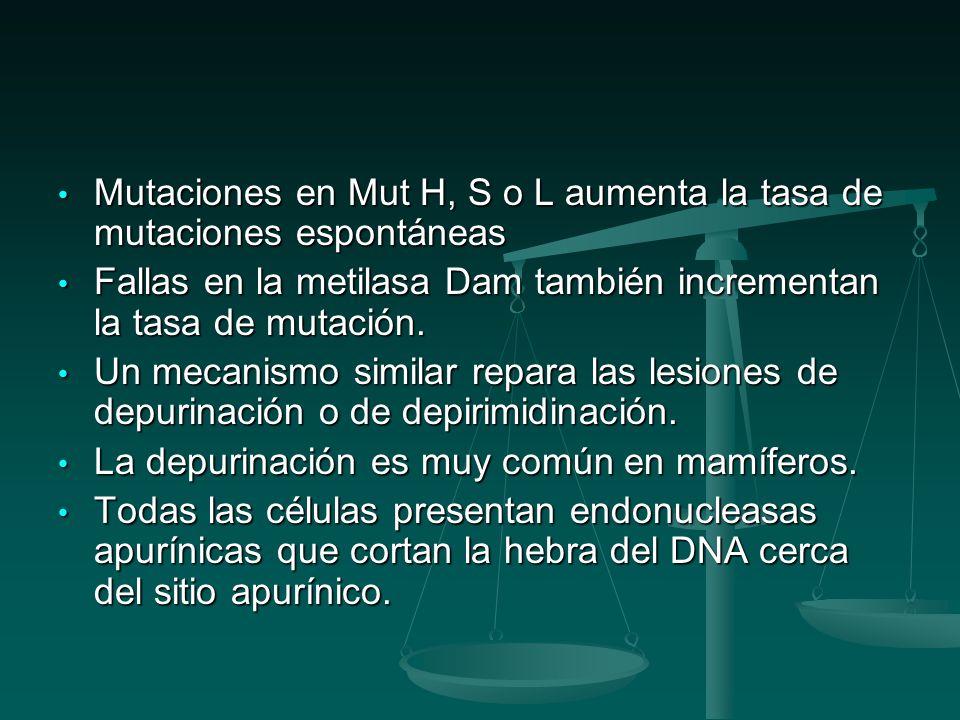 Mutaciones en Mut H, S o L aumenta la tasa de mutaciones espontáneas