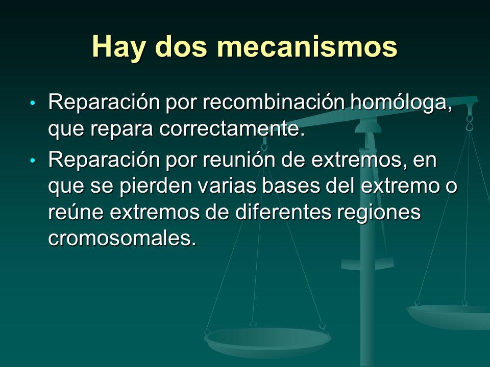 Hay dos mecanismos Reparación por recombinación homóloga, que repara correctamente.