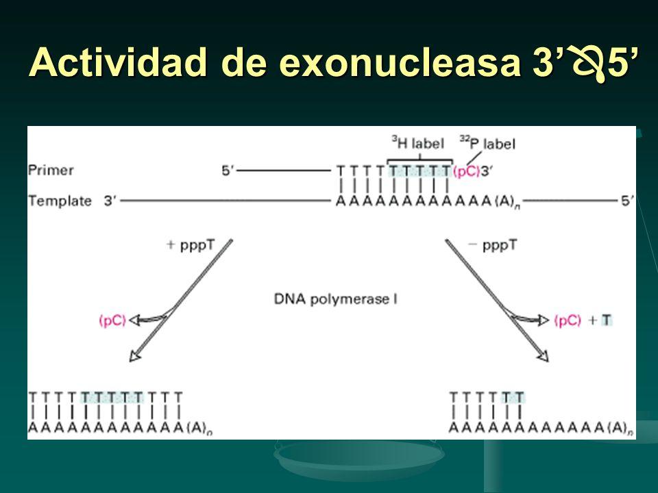 Actividad de exonucleasa 3'5'