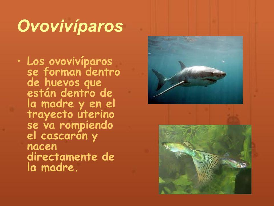 Animales ov paros viv paros ovoviv paros ppt video for Como se cultivan los peces