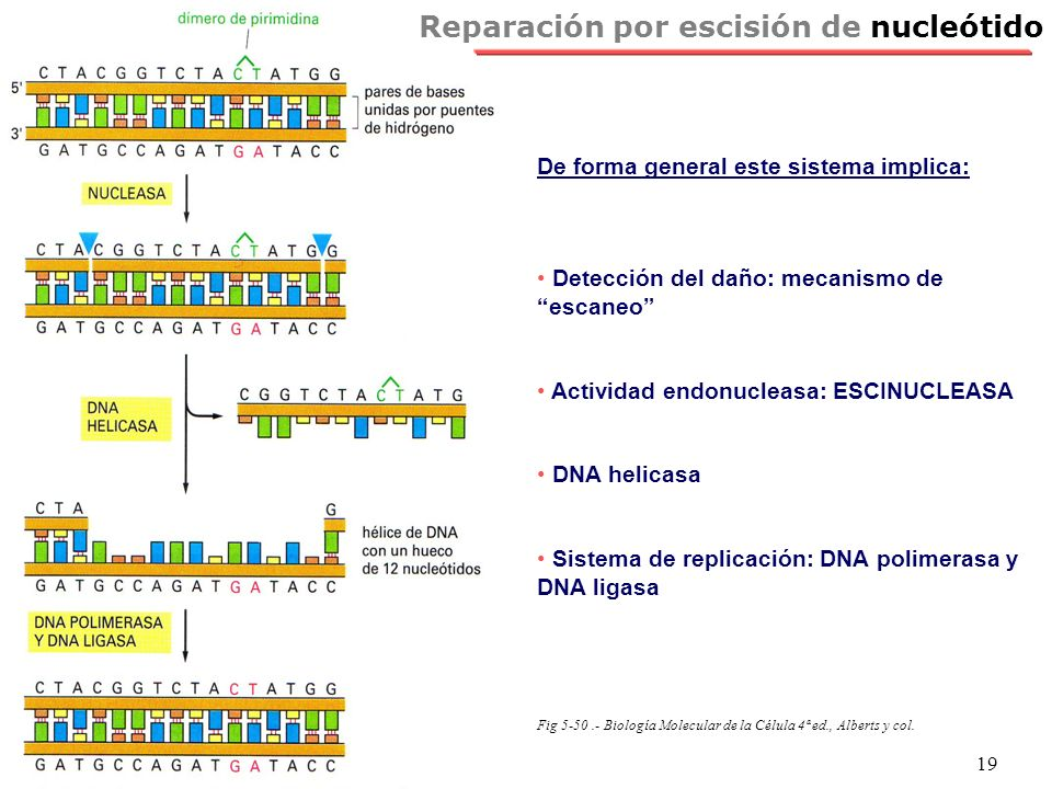 Reparación por escisión de nucleótido