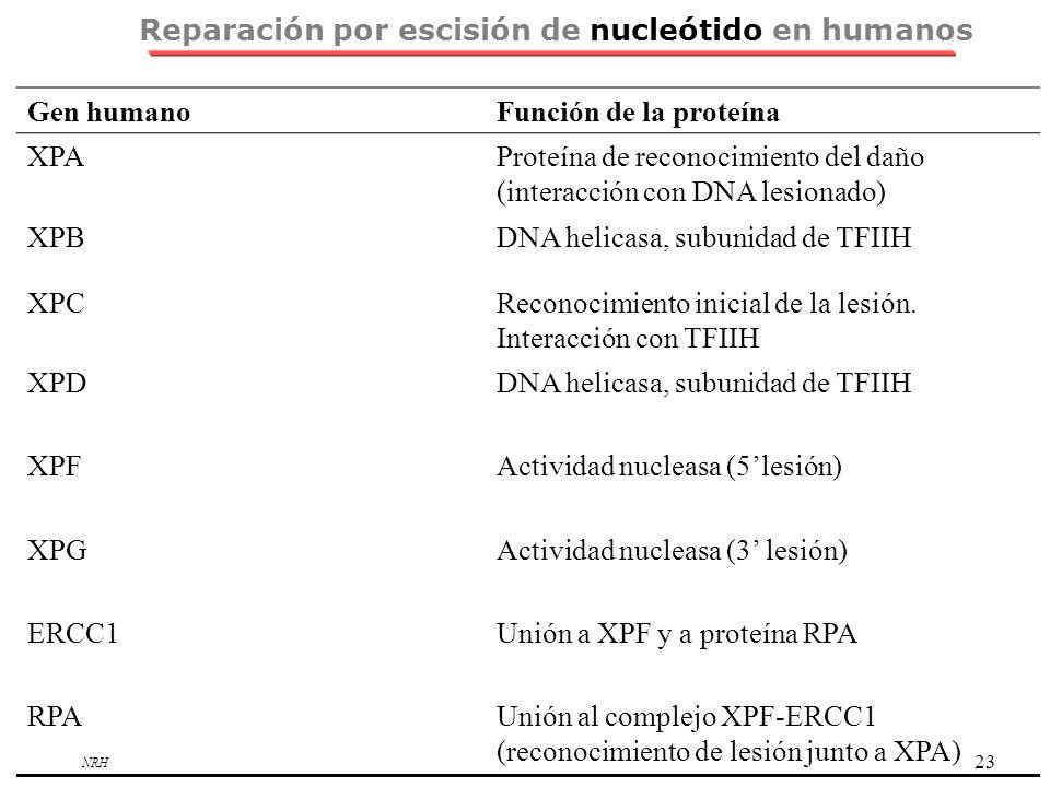 Reparación por escisión de nucleótido en humanos