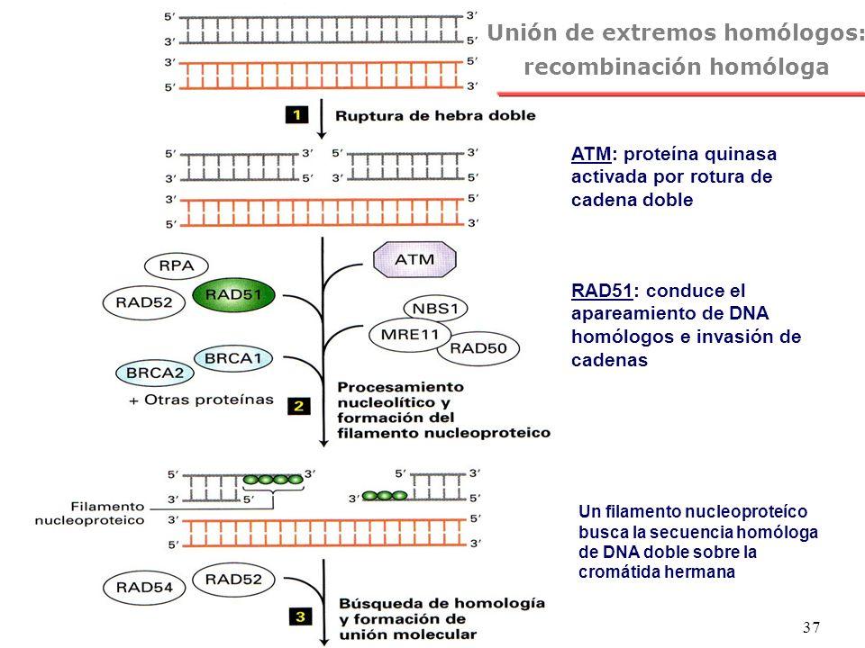 Unión de extremos homólogos: recombinación homóloga