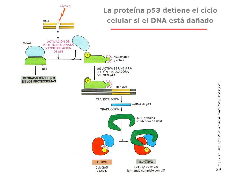 La proteína p53 detiene el ciclo celular si el DNA está dañado