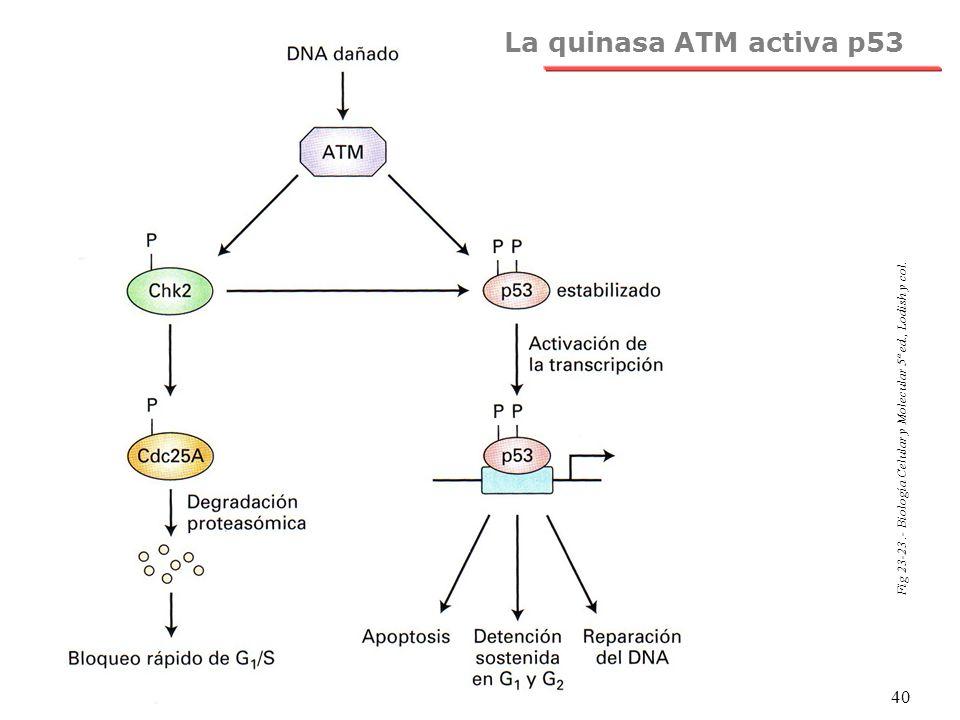 La quinasa ATM activa p53 Fig 23-23 .- Biología Celular y Molecular 5ª ed., Lodish y col.