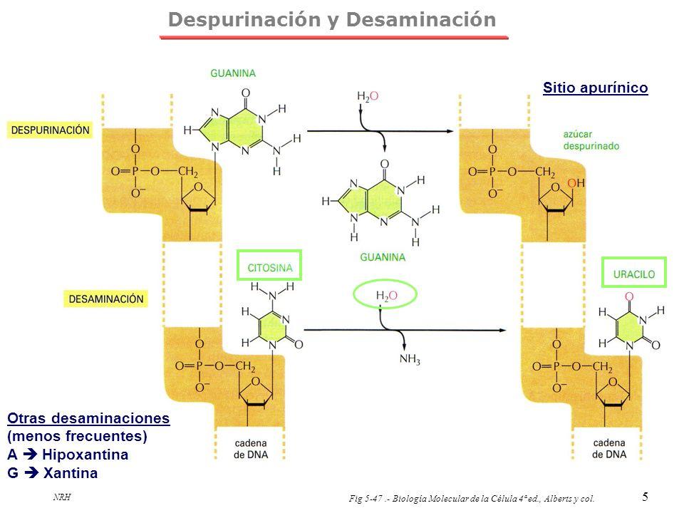 Despurinación y Desaminación
