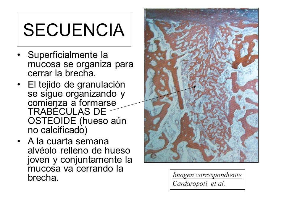 SECUENCIA Superficialmente la mucosa se organiza para cerrar la brecha.