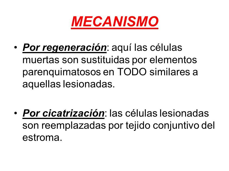 MECANISMO Por regeneración: aquí las células muertas son sustituidas por elementos parenquimatosos en TODO similares a aquellas lesionadas.