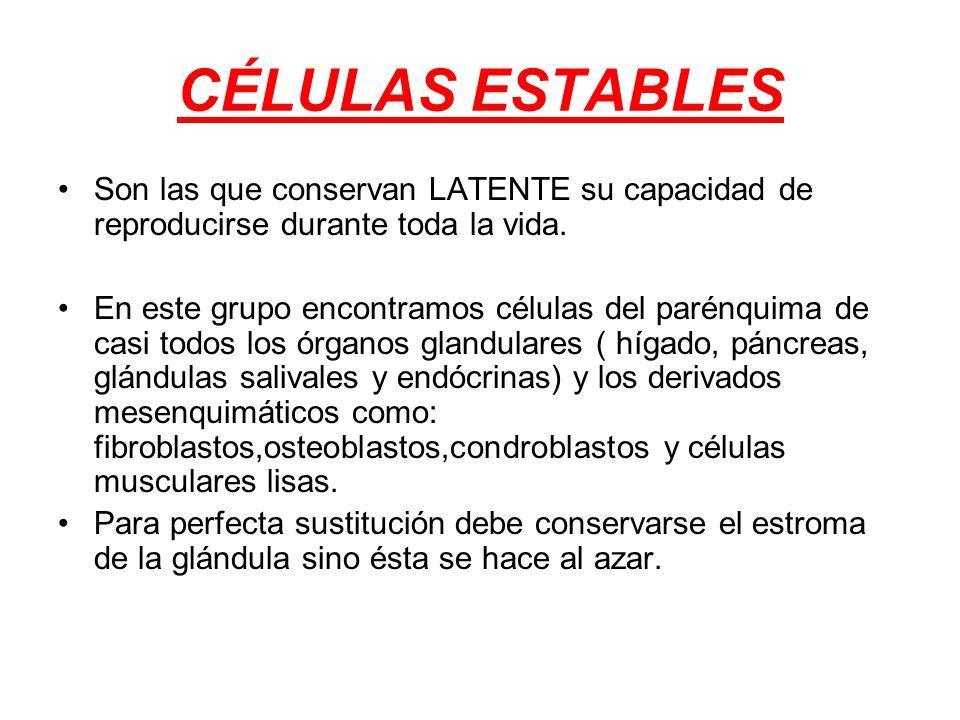 CÉLULAS ESTABLES Son las que conservan LATENTE su capacidad de reproducirse durante toda la vida.