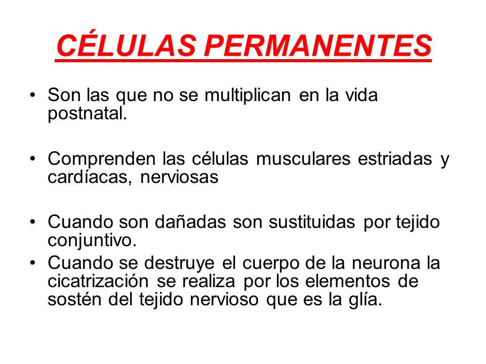CÉLULAS PERMANENTES Son las que no se multiplican en la vida postnatal. Comprenden las células musculares estriadas y cardíacas, nerviosas.