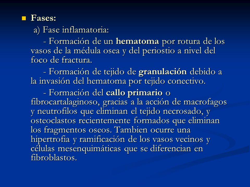 Fases: a) Fase inflamatoria: - Formación de un hematoma por rotura de los vasos de la médula osea y del periostio a nivel del foco de fractura.