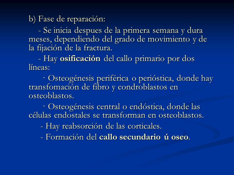 b) Fase de reparación: - Se inicia despues de la primera semana y dura meses, dependiendo del grado de movimiento y de la fijación de la fractura.