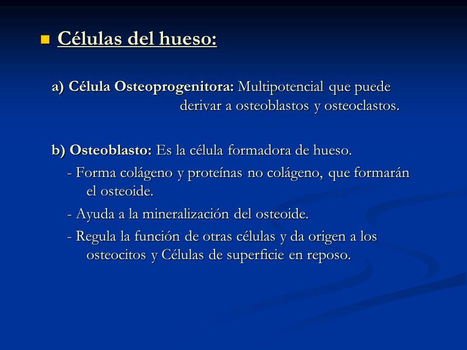 Células del hueso: a) Célula Osteoprogenitora: Multipotencial que puede derivar a osteoblastos y osteoclastos.