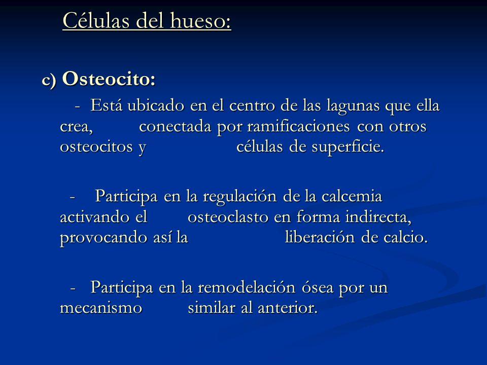 Células del hueso: c) Osteocito: