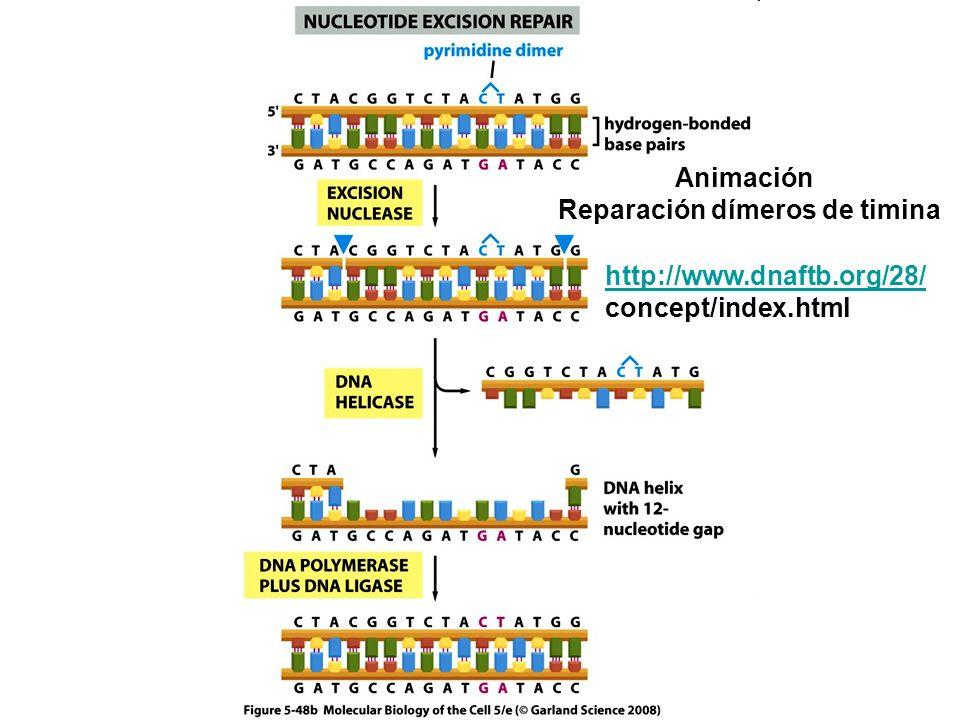 Animación Reparación dímeros de timina http://www.dnaftb.org/28/ concept/index.html