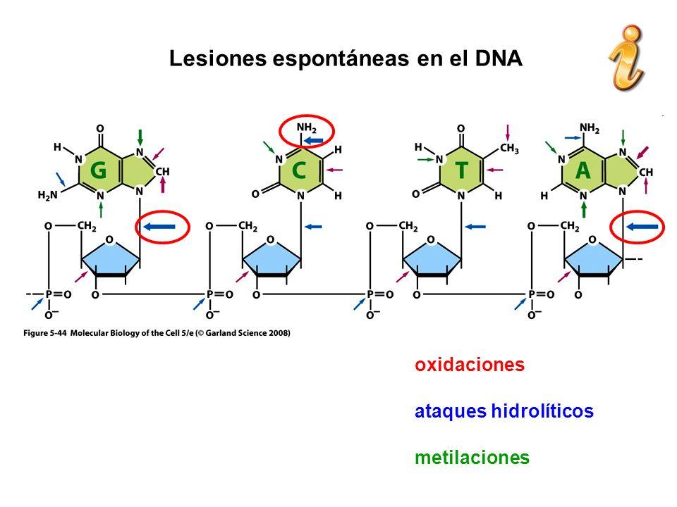 Lesiones espontáneas en el DNA