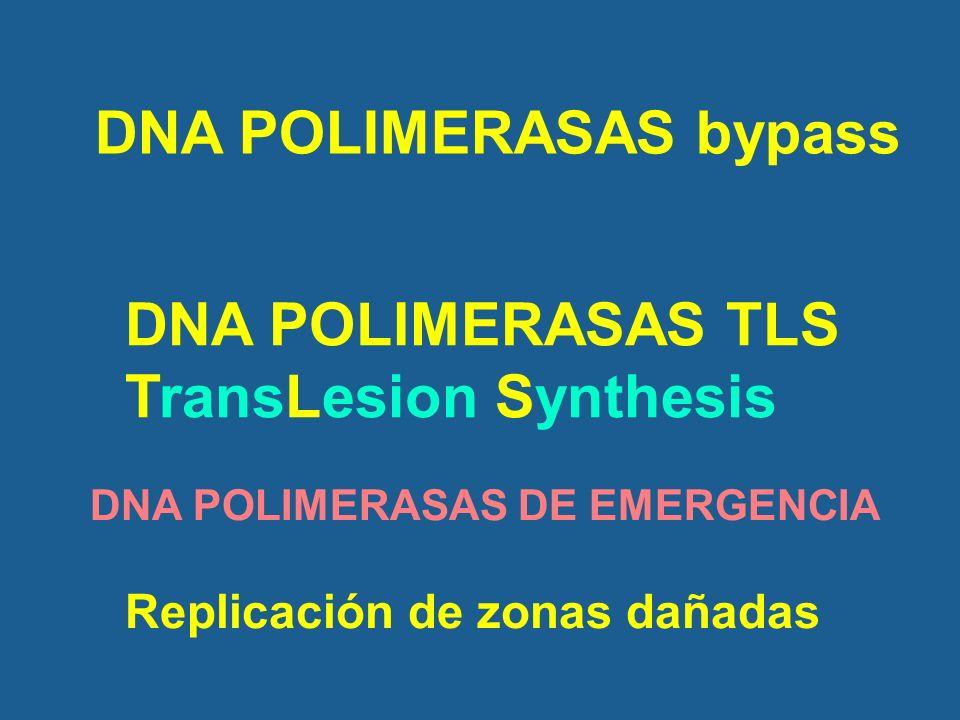 DNA POLIMERASAS bypass