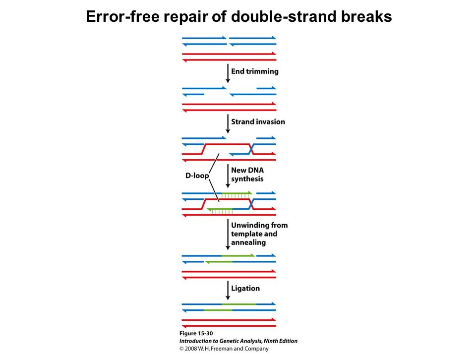 Error-free repair of double-strand breaks