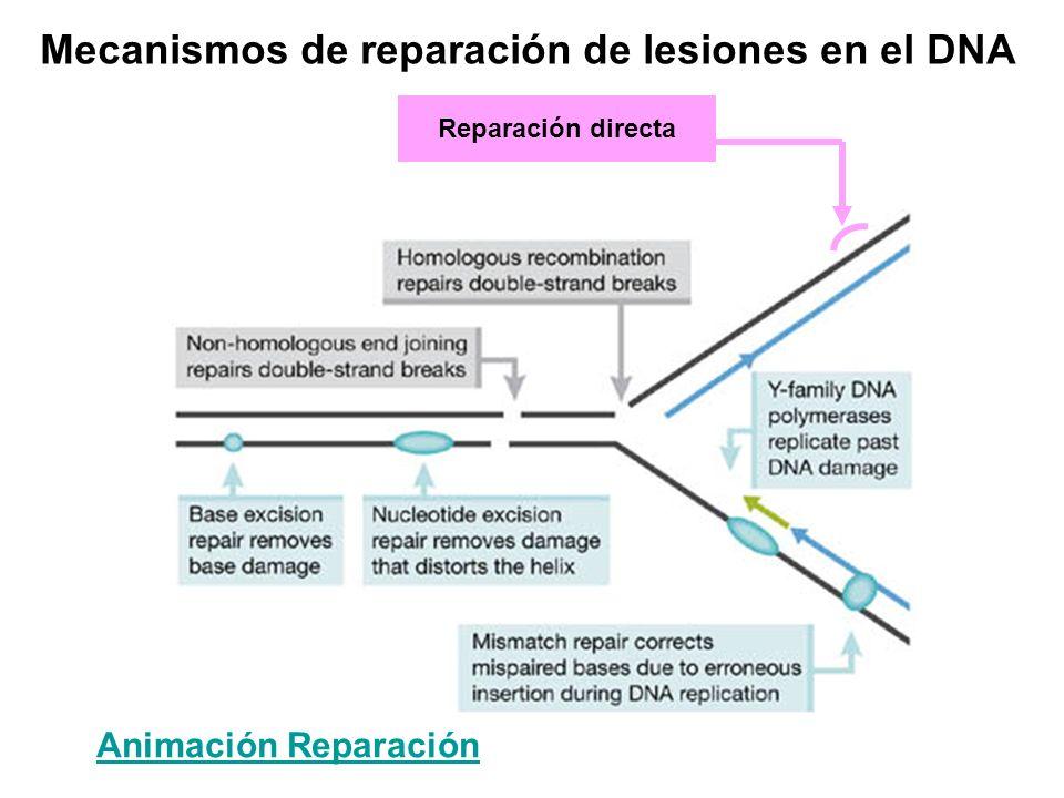 Mecanismos de reparación de lesiones en el DNA