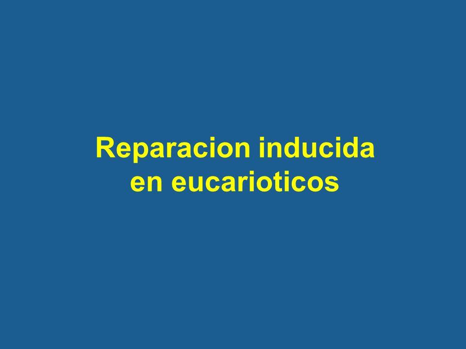 Reparacion inducida en eucarioticos