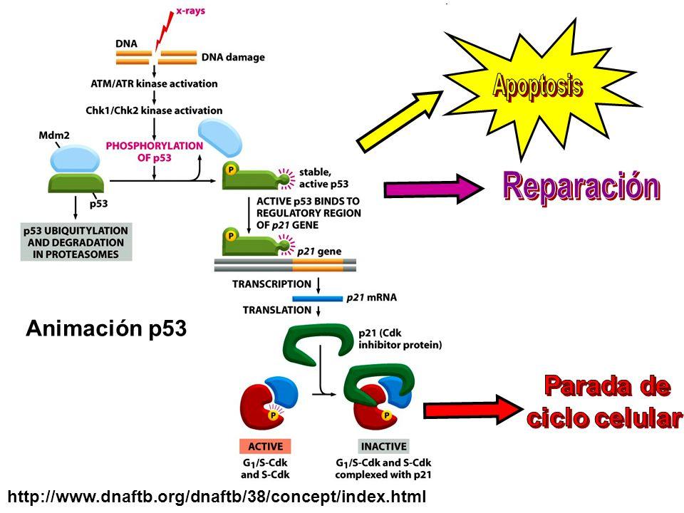 Reparación Animación p53 Parada de ciclo celular Apoptosis