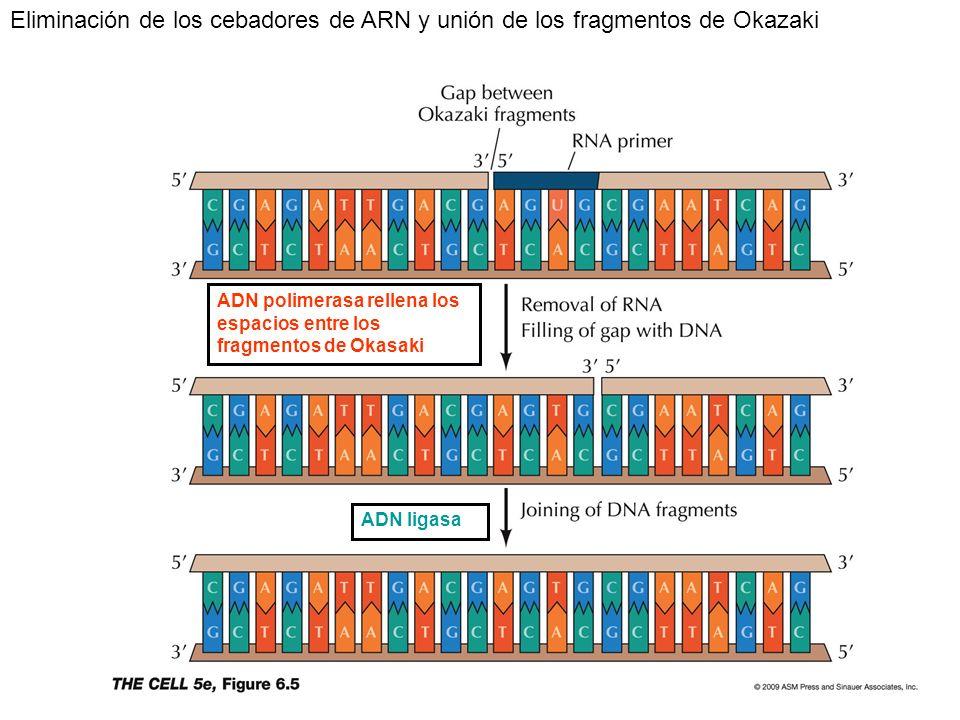 Eliminación de los cebadores de ARN y unión de los fragmentos de Okazaki
