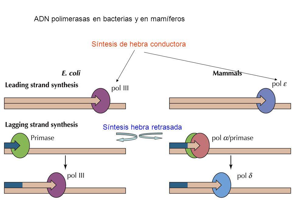 ADN polimerasas en bacterias y en mamíferos