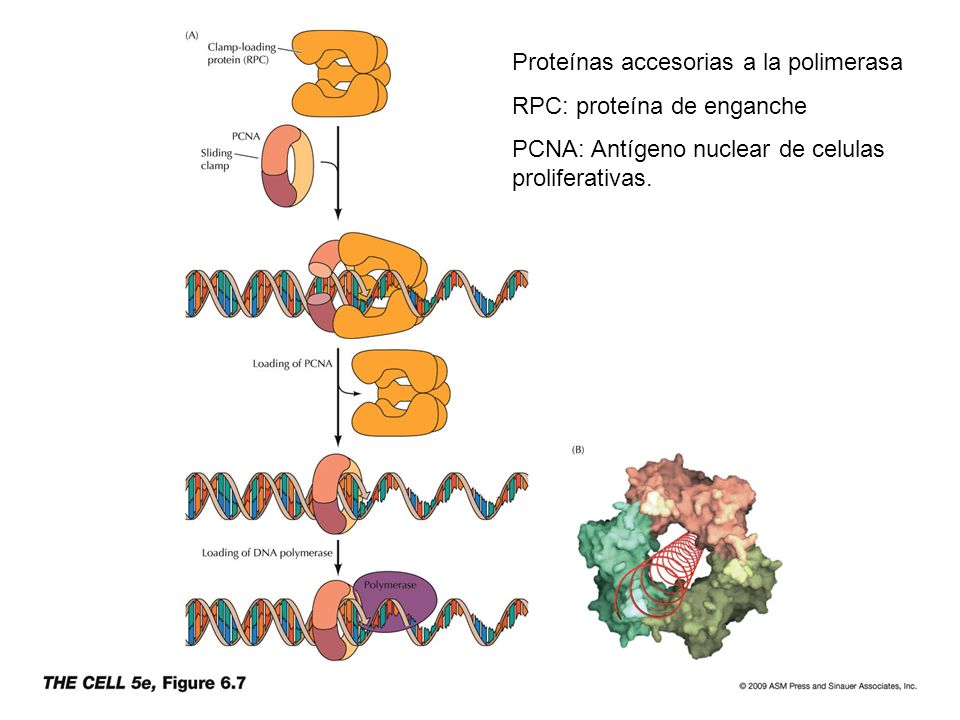Proteínas accesorias a la polimerasa